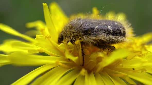 Thumbnail for Beetle Gathers Pollen On Yellow Dandelion