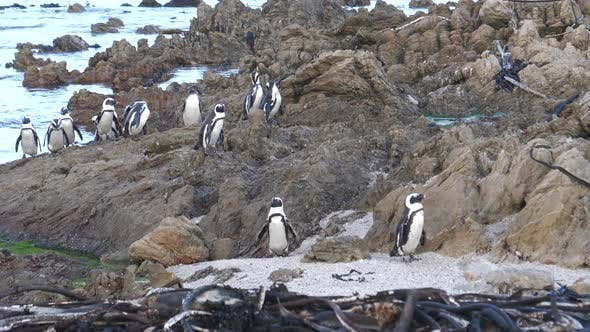 Thumbnail for Penguins on the rocks and in the sea