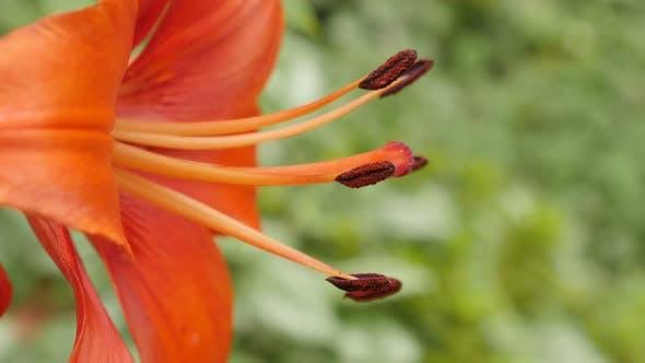 Thumbnail for Details of Lilium bulbiferum flower close-up 4K 2160p 30fps UltraHD footage - Orange Herbaceous tige