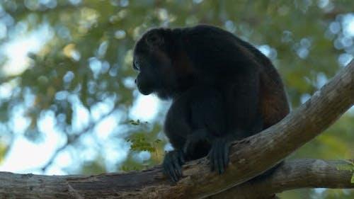 Mantled Howler Monkey Lone Sitting Turning Around Dawn Morning