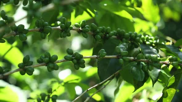 Thumbnail for Green Coffee Berries