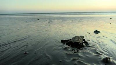 Atlantic Ridley Sea Baby Turtle Crossing the Beach