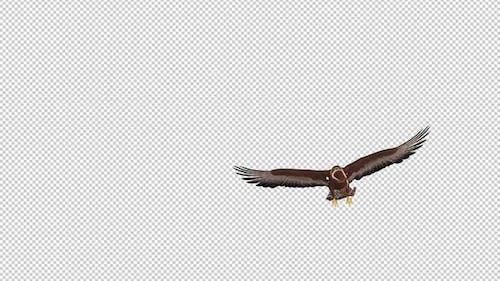 Golden Eagle With Snake - Flying Transition - V