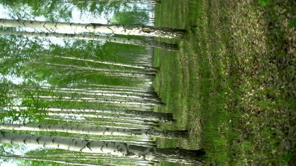 Walking Through the Birch Forest in the Summer. Green Forest. The Camera Is Spinning.