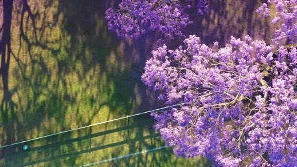 Aerial view of flowering jacaranda trees, Brisbane