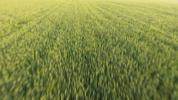 Thumbnail for Aerial of the Huge Green Wheat Area From a Low Flying Drone at Sunset in Summer