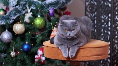 Scottish fold cat near Christmas tree