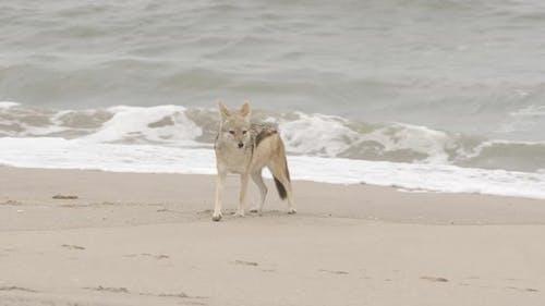 Jackal on a Beach