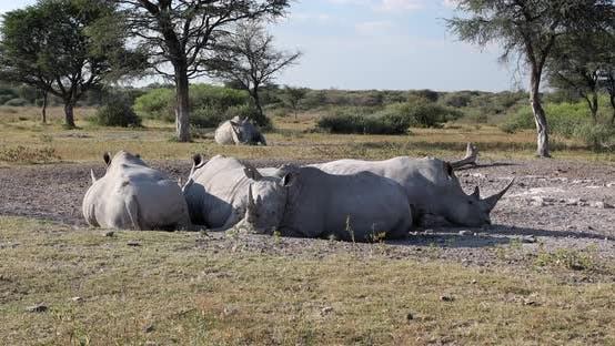 Resting white rhinoceros Botswana, Africa