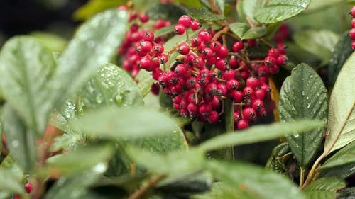Shrub With Red Berries Raindrops