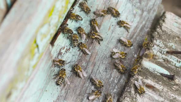 Thumbnail for A Big Swarm of Honey Bees Fly Around Their Wooden Hive.