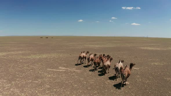 Thumbnail for Aerial View of Camels Herd in the Gobi Desert.