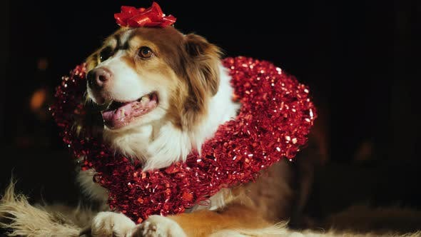 Cover Image for Portrait of a Cute Dog with a Collar in the Shape of a Heart. Valentine's Day Concept