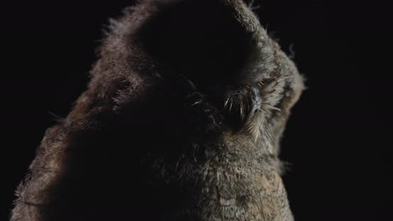 Thumbnail for Gorgeous Wild Bird, Fluffy Baby Owl Looking Around in the Dark,