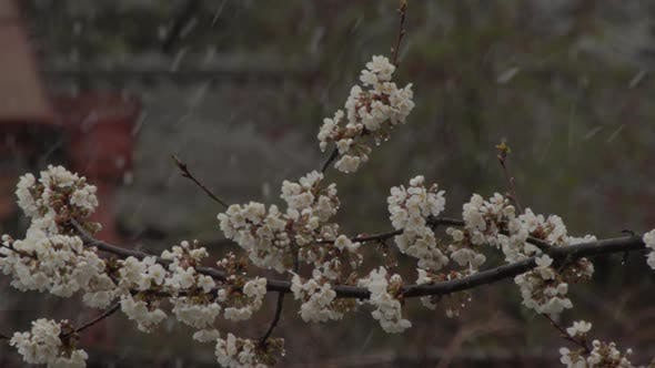 Thumbnail for Spring Buds and Flowers of Fruit Tree