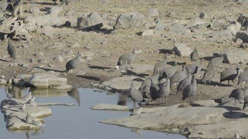 Guinea Fowls Drinking Water