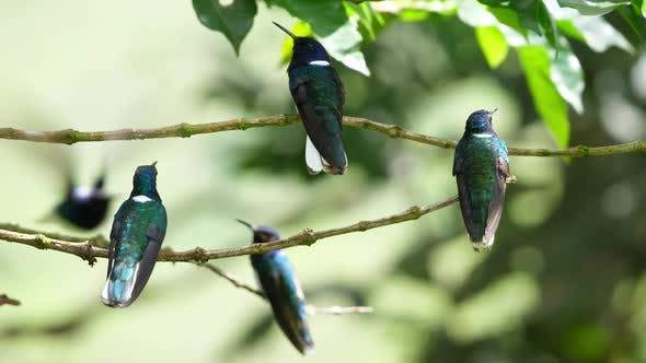 Thumbnail for White-necked Jacobin Birds in its Natural Habitat in the Forest
