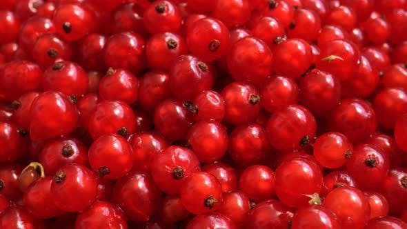 Rotating Purified Red Currant