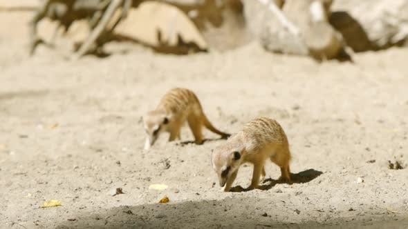 Thumbnail for Two Meerkats Dig In A Sand