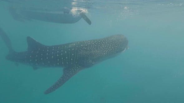 Thumbnail for Whale Shark Swimming Under Boat in Clear Sea Water Underwater View. Wild Whale Shark