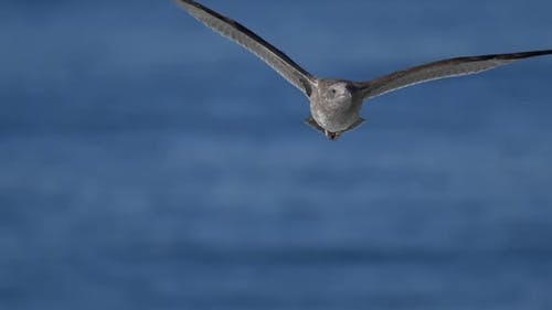 A gray seagull flies over the Pacific Ocean.