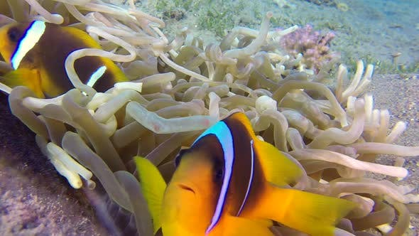 Cover Image for Underwater Clownfish and Sea Anemones