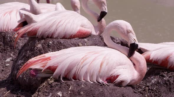 Flamingos being sprayed with water as they sit on their nests