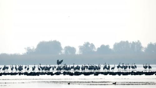 Common Crane migration in the Hortobagy.
