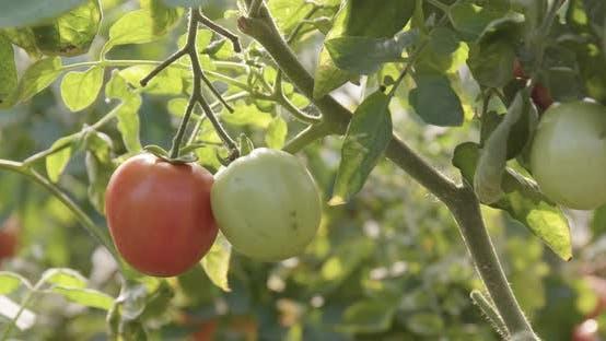 Thumbnail for Fresh Tomato Farm