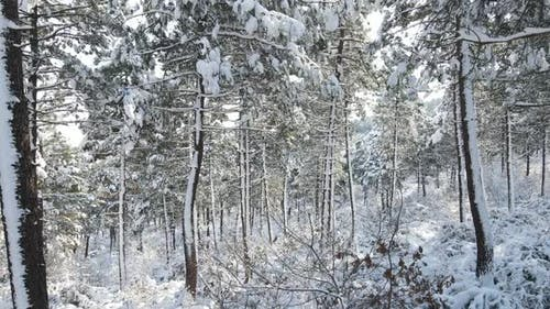 Forest Winter Snow Tree