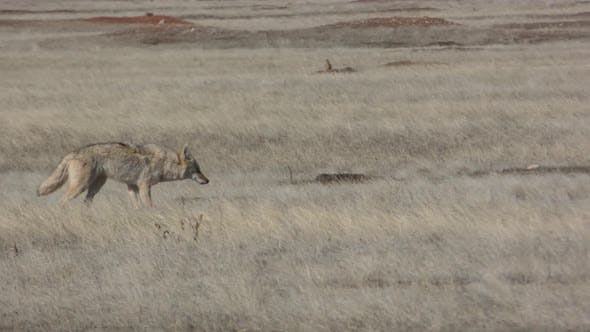 Thumbnail for Lone Coyote Walking Moving Throught Prairie Grass Grassland in Spring