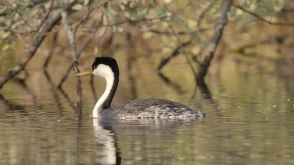Thumbnail for Western Grebe Adult Lone Swimming Looking Around in Spring in South Dakota