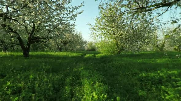 Thumbnail for Aerial View of Blooming Cherry Garden 24