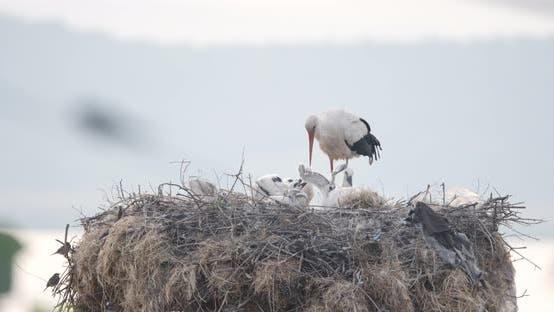 Parents de cigogne et poussins dans un nid