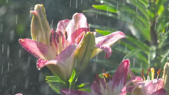 Thumbnail for Pink Lily Flower Under Rain