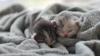Two Newborn Kittens Sleeping Under Wool Blanket