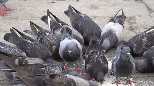 Group of pigeons is eat the rice feed by resident