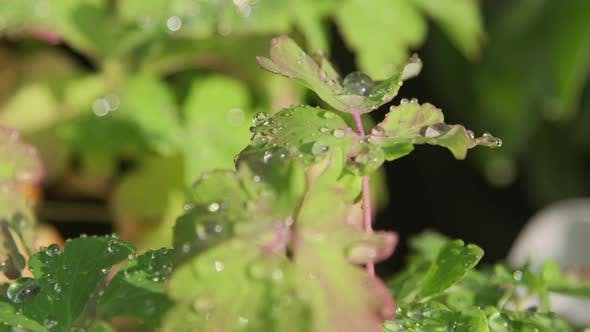 Macro Of Rain Drops On Green Leaves