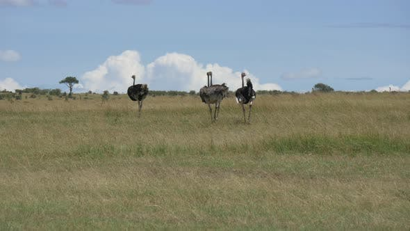 Thumbnail for Ostriches walking in the savannah