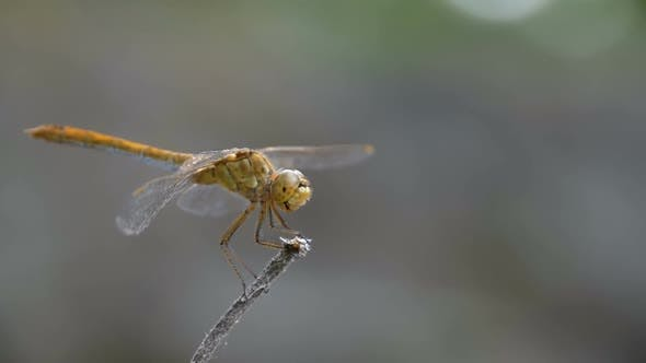 Thumbnail for Dragonfly on a Branch Summer Day