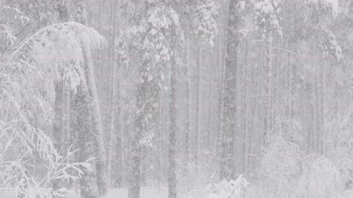 Beautiful Winter Snowy Coniferous Forest During Snowy Snowstorm Day