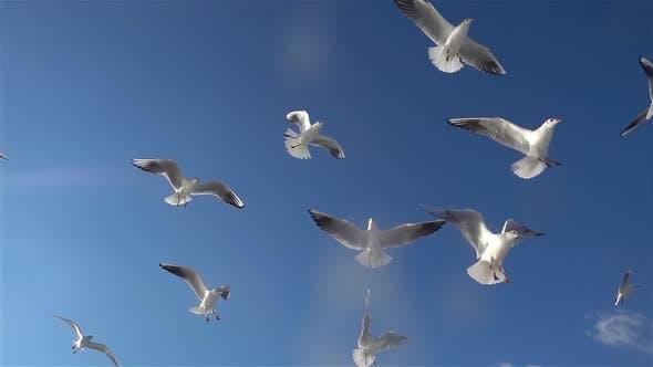 Thumbnail for Flock Of Seagulls Birds Flying In The Blue Sky 8