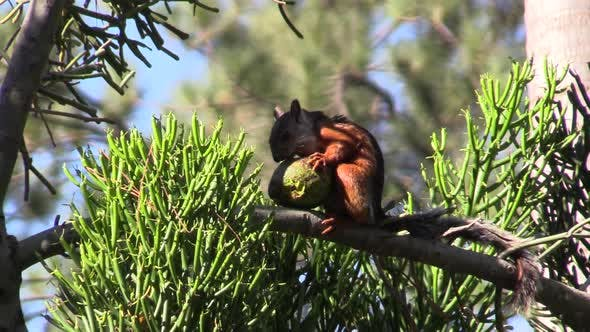 Thumbnail for Variegated Squirrel Adult Lone Eating Feeding in Costa Rica