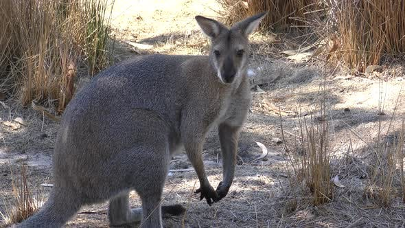 Agile Wallaby Adult Alone Looking Around