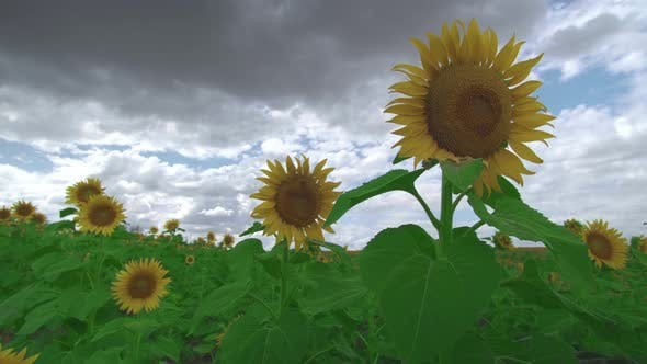 Thumbnail for Beautiful Agricultural Field with Sunflowers, Bright Yellow Petals of Sunflowers Sway a Light Wind
