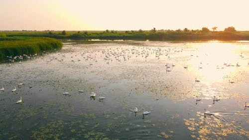 Swans in the Wild in a National Park in a Backpack at Sunrise
