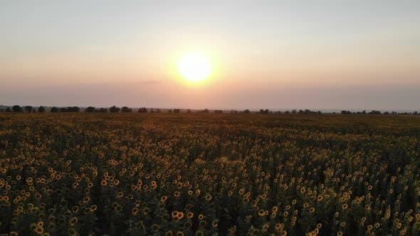 Thumbnail for Sunflower Field At Sunrise