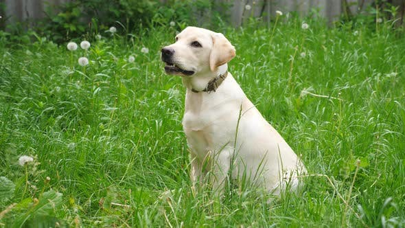 Thumbnail for Cute Labrador or Golden Retriever Sitting on Green Grass in Yard