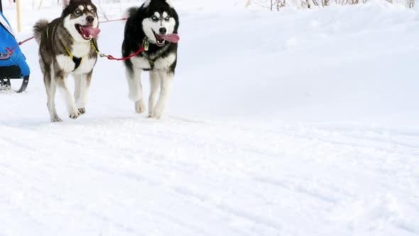 Sibirische Huskies bei Rennwettbewerben