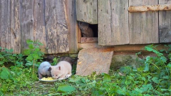 Thumbnail for Beautiful Multicolored Kittens Eat Near Barn.